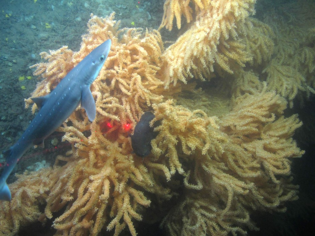 A spiny dogfish, a species in the shark family, searches for prey in coral habitat. A cusk (center) can be seen diving into the coral to hide. (Photo courtesy of Peter Auster)