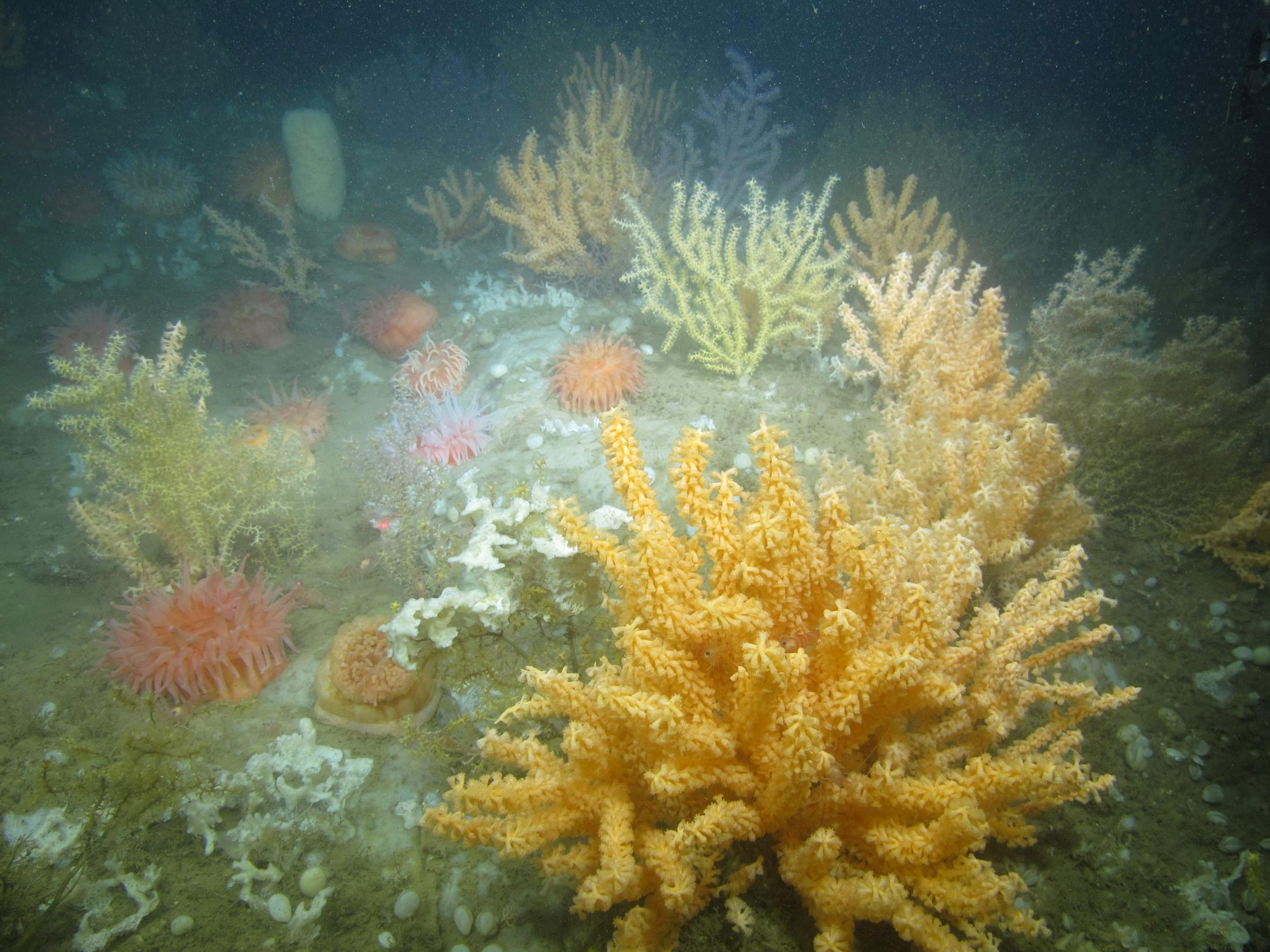 Coral garden habitat in Western Jordan Basin. Sea fans, sponges, and anemones cover the rocky ridge. (Photo courtesy of Peter Auster)