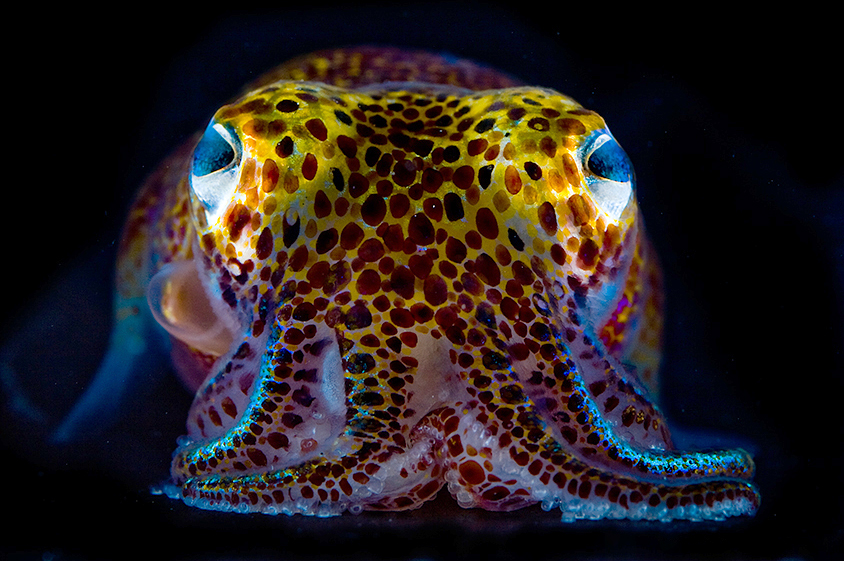 A bobtail squid is lit up by luminescent bacteria that live in its body and hide it from predators at night. (Copyright Mattias Ormestad, www.kahikai.com, reproduced with permission)