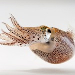 Bobtail squid. (Copyright Mattias Ormestad, www.kahikai.com, reproduced with permission)
