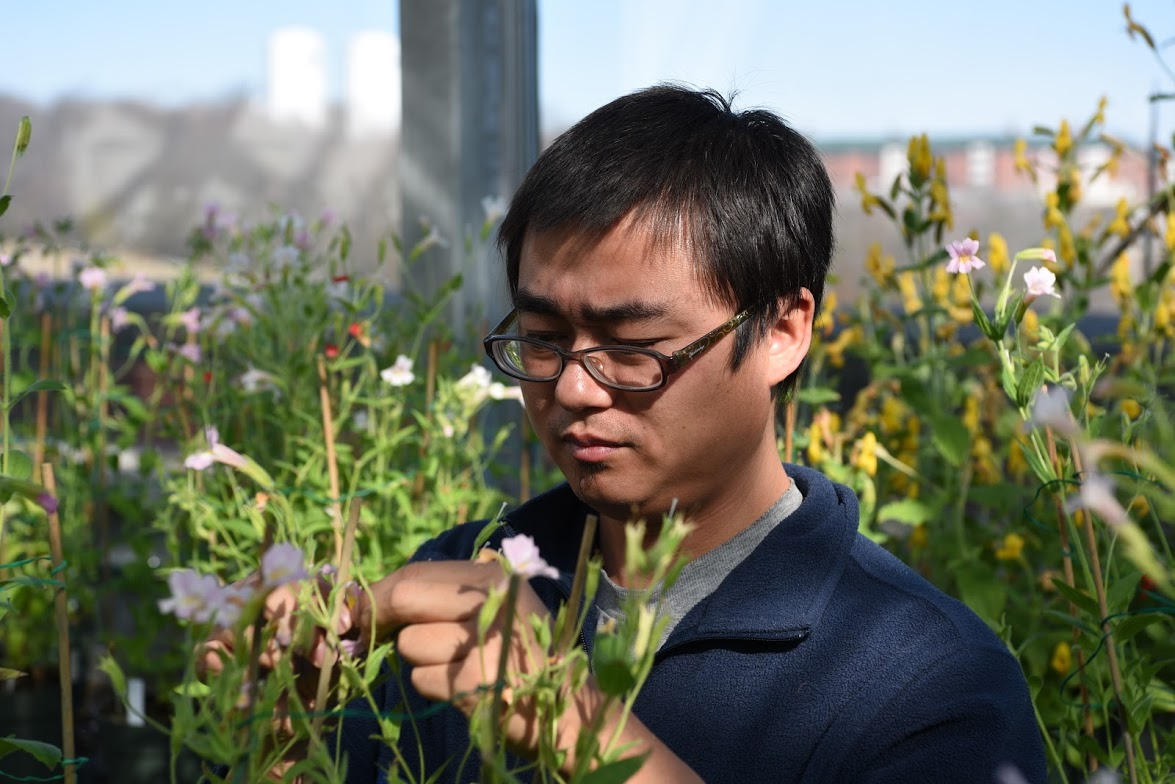 Yaowu Yuan, assistant professor of ecology and evolutionary biology, examines Monkey Flowers in the research greenhouse on top of the Torrey Life Sciences Building. (Ryan Glista '16 (CLAS)/UConn Photo)