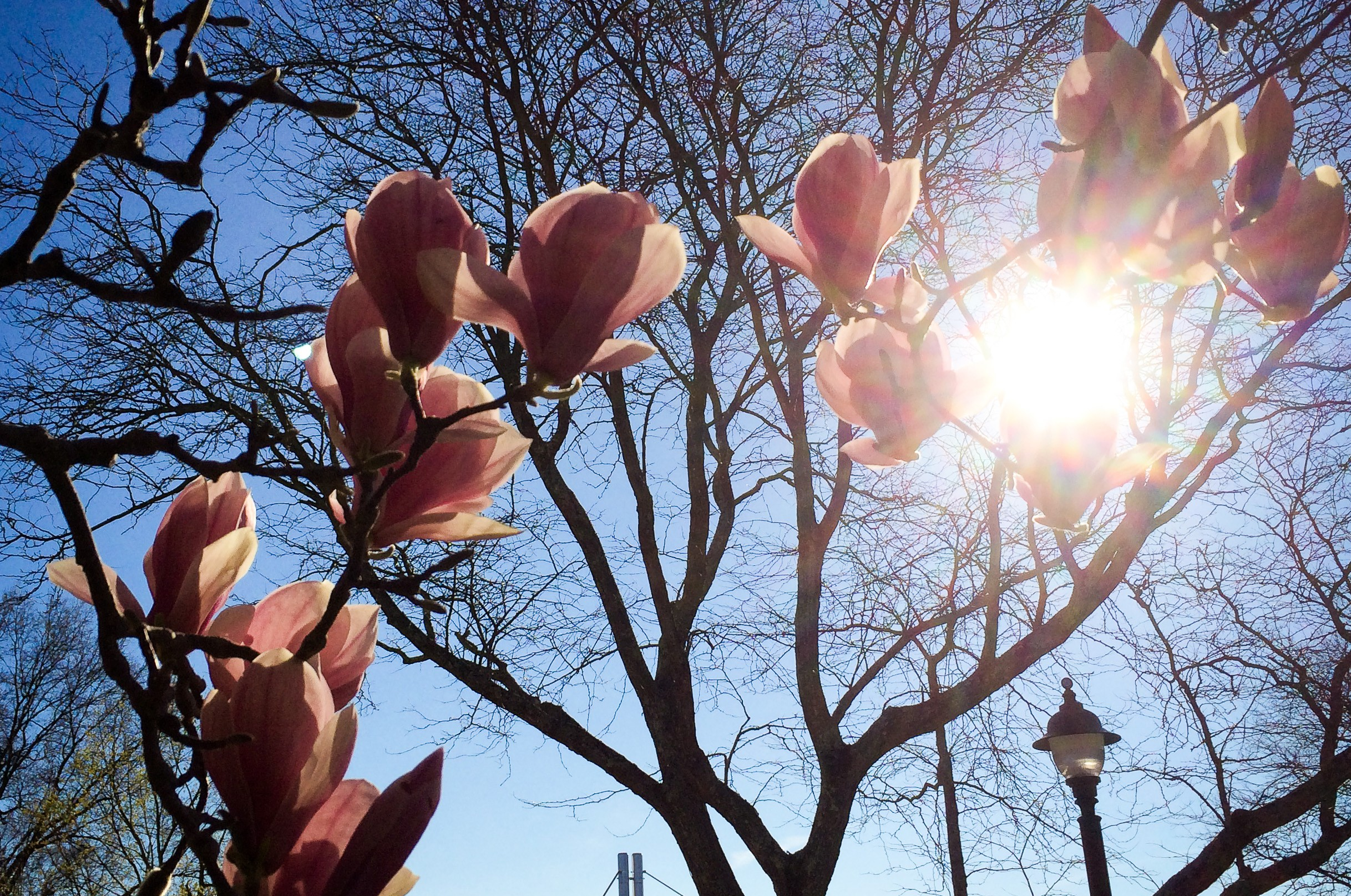 A magnolia tree blooms outside Ratcliffe Hicks Building on April 30, 2015. (Peter Morenus/UConn Photo)