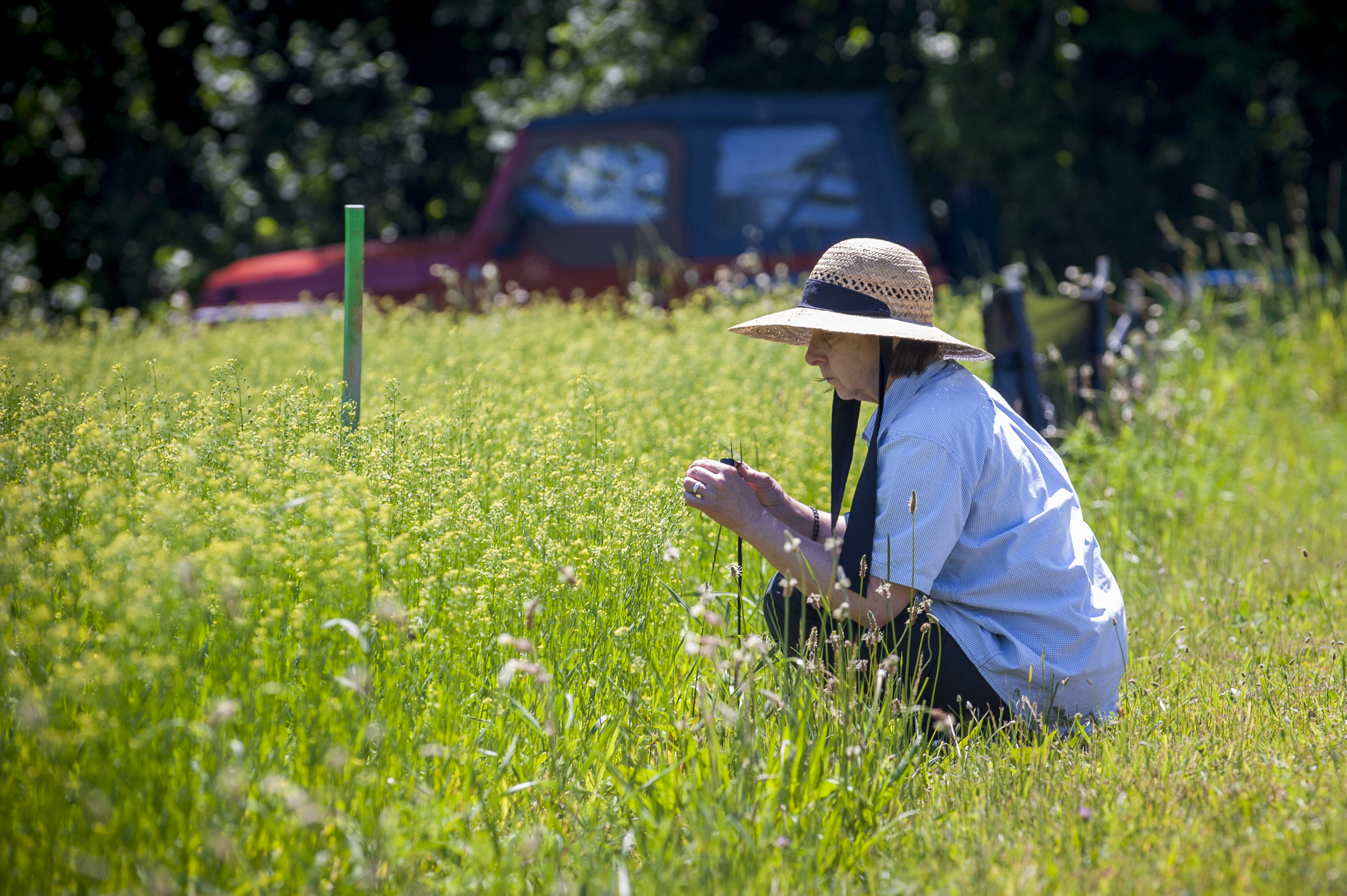 Carol Auer, professor emerita, collects insects in a field of camelina on June 21, 2016. (Sean Flynn/UConn Photo)