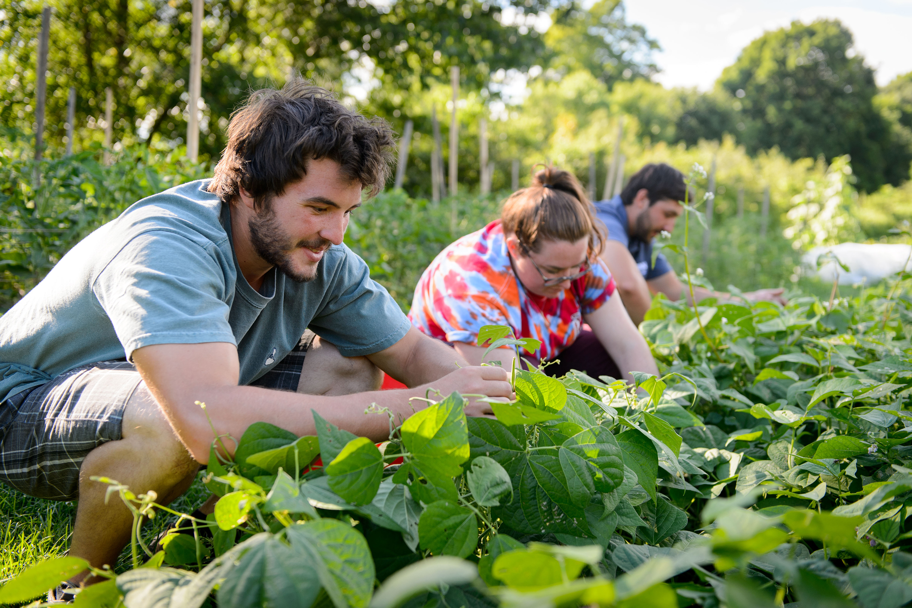 Students pick beans at the Spring Valley Student Farm. (Peter Morenus/UConn File Photo)