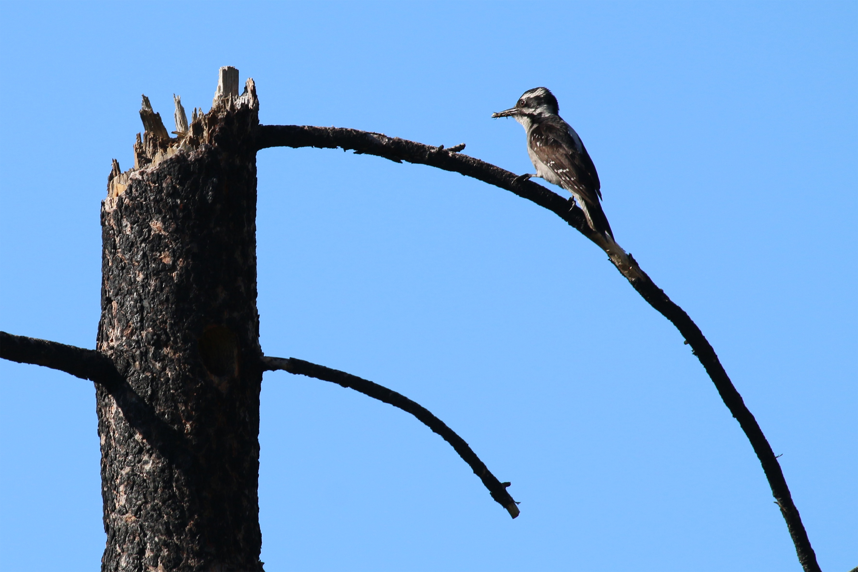 A Hairy Woodpecker returns to its nest site in a burned pine tree bringing food to its hungry young. (Photo courtesy of Morgan Tingley)