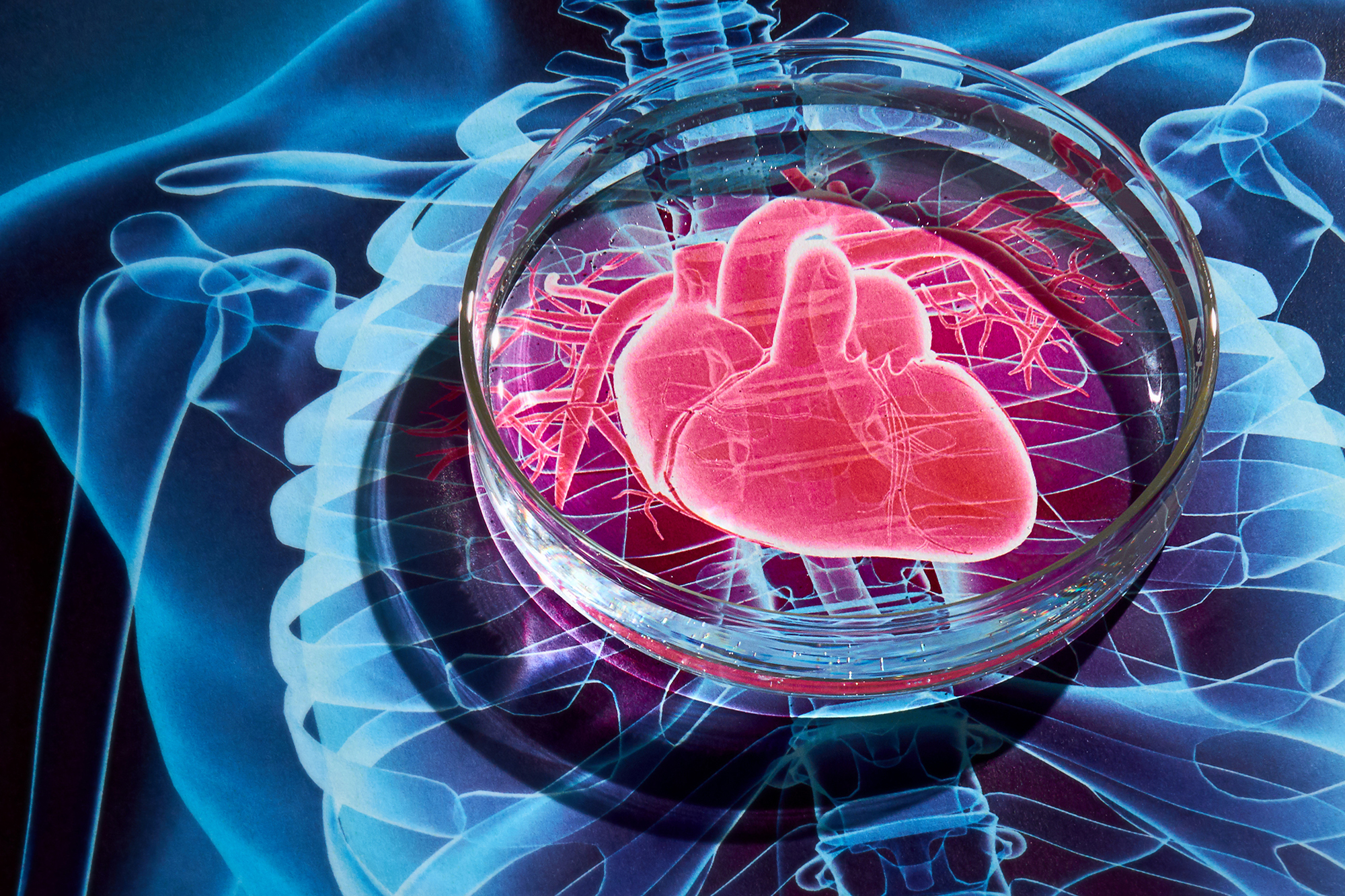 Heart in a dish sheds light on genetics of heart disease uconn today a still life photo of a petri dish on top of an illustration of the human advances in research on the human heart ccuart Image collections