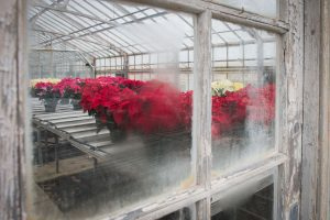 Poinsettias at the Floriculture Greenhouse. (Peter Morenus/UConn Photo)