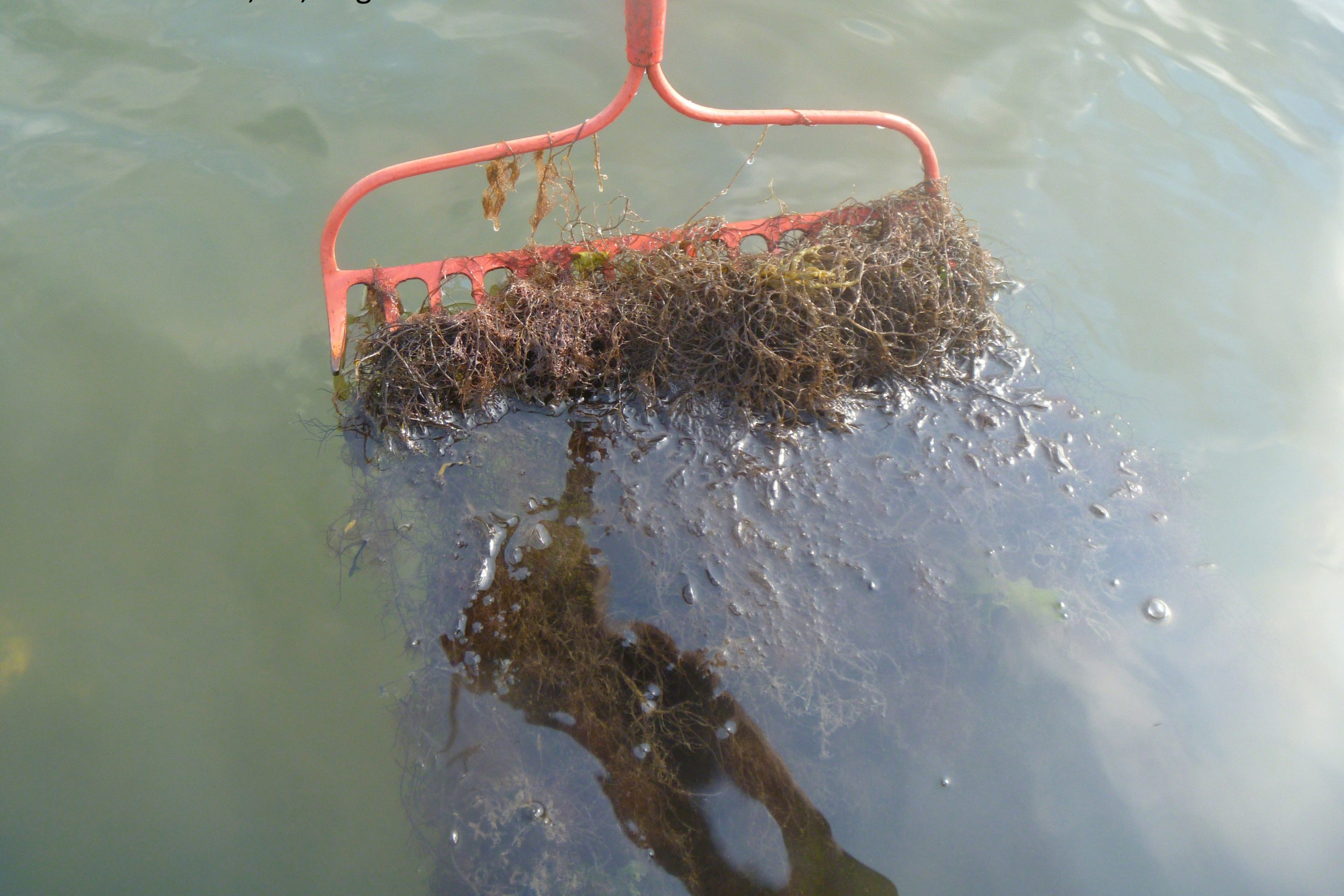 Seaweed collected by reaching down to the bottom and pulling up the rake. The branching red seaweed and the amount collected in just one pass indicate that a large amount of nutrients are fertilizing the growth of seaweed in this bay. (Jamie Vaudrey/UConn Photo)