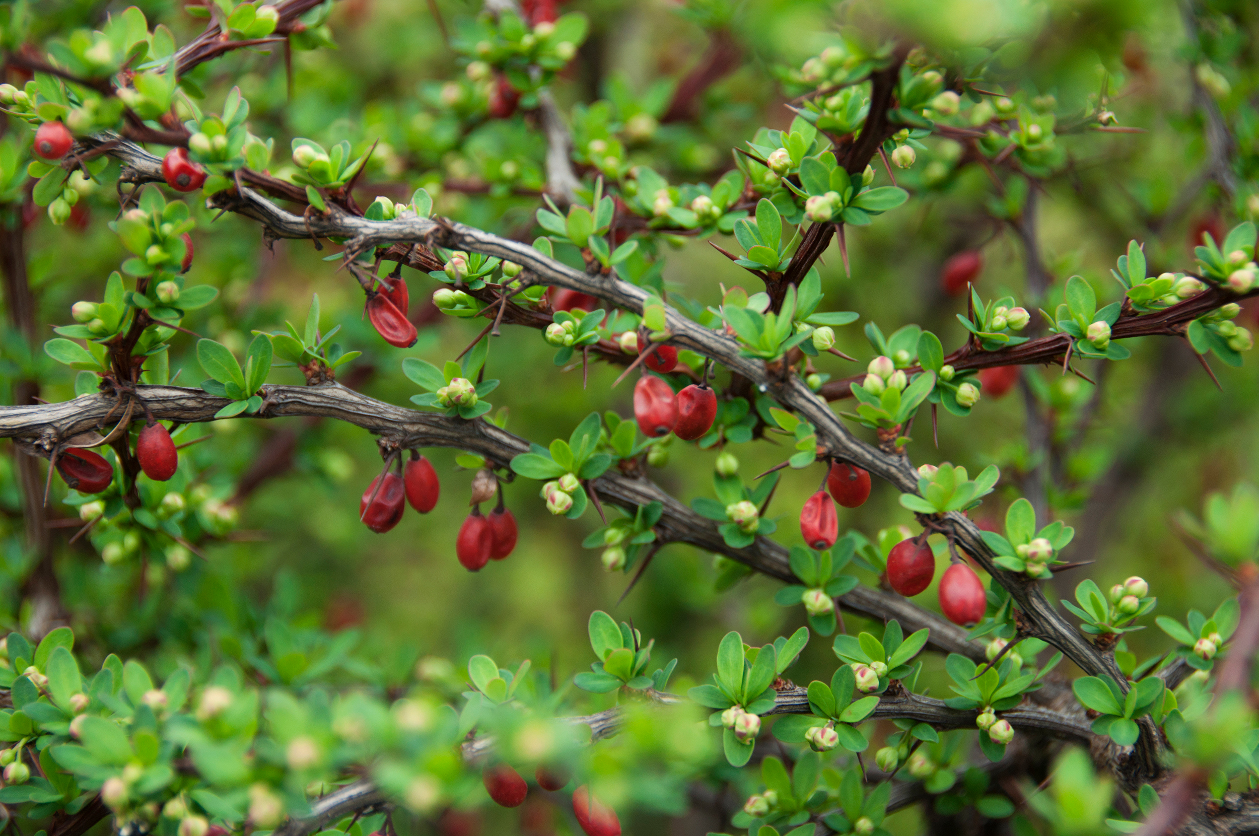 Japanese barberry (Berberis thunbergii) with new leaves, flower buds, and berries. (Getty Images)