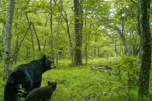 New data show Connecticut's black bear population is highest in the state's outermost suburbs, which provide the refuge of large hardwood forests and a scattering of homes close enough so that a tasty snack is only a short distance away. (Photo courtesy of Tracy Rittenhouse)