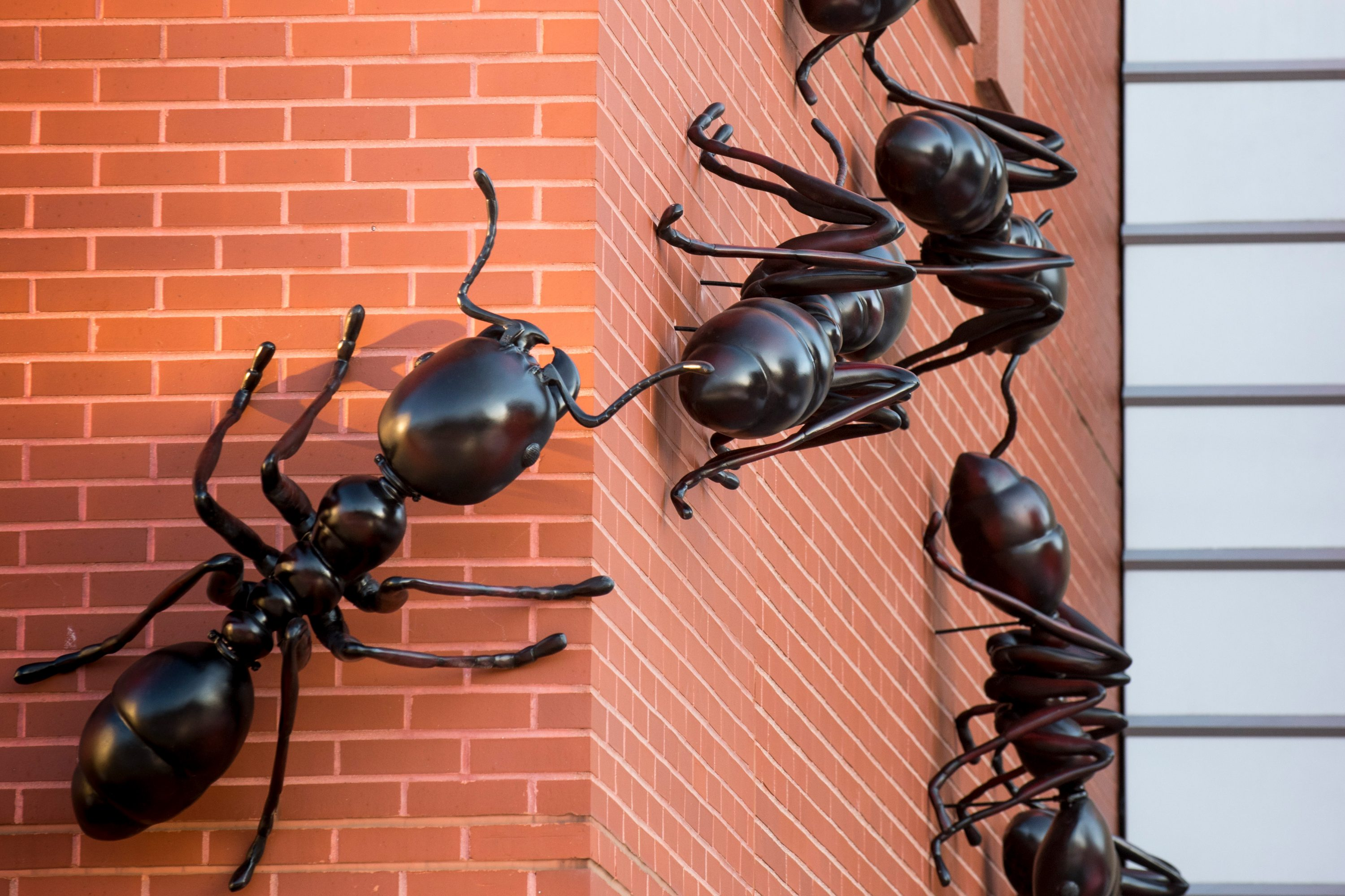 The seven four-foot ants marching toward the Biology/Physics Building invite visitors to follow them inside to view an exhibit on the complex society of army ants and their guests. (Sean Flynn/UConn Photo)