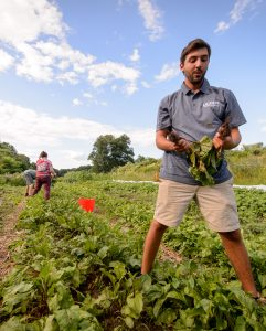 Gabriel DeRosa harvests beets at the Spring Valley Student Farm. (Peter Morenus/UConn Photo)