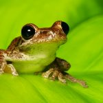 Cuban Tree Frog. (Getty Images)