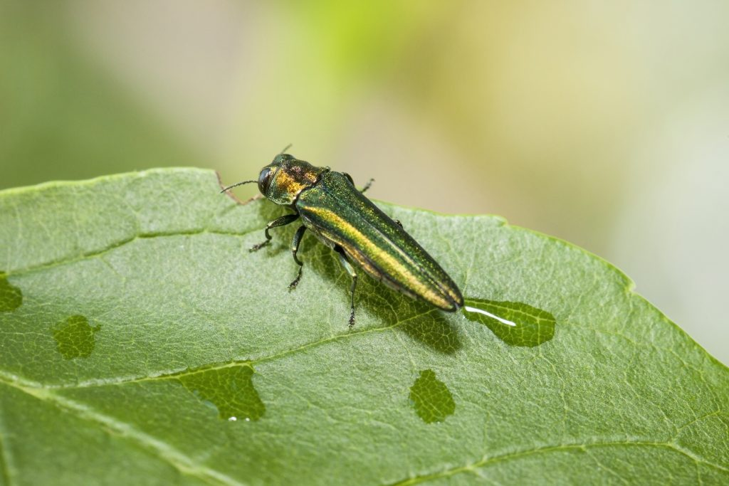 The attractive, but destructive, Emerald Ash Borer. (Getty Images)
