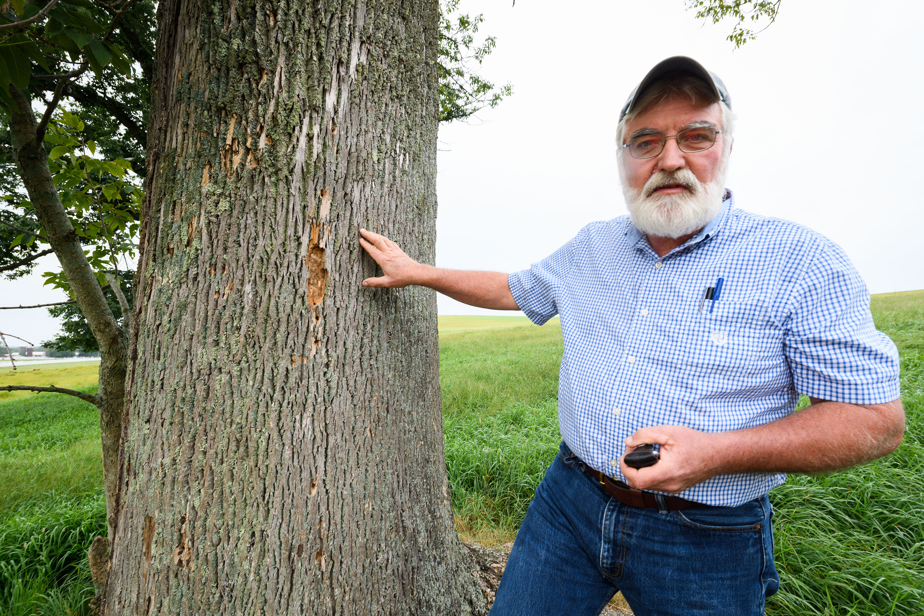 Thomas Worthley, associate extension professor, points out damage caused by emerald ash borers on a tree along Horsebarn Hill Road on Aug. 29, 2017. (Peter Morenus/UConn Photo)
