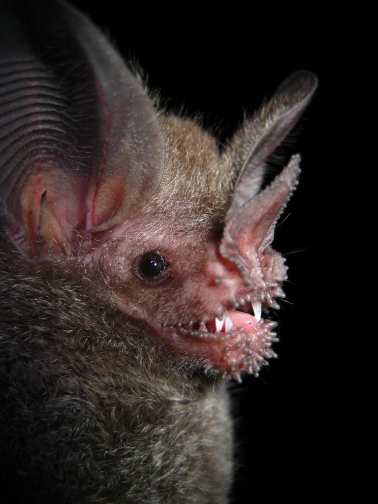 A carnivorous bat from the Caribbean Lowlands of Costa Rica. (Photo by Brian T. Klingbeil)