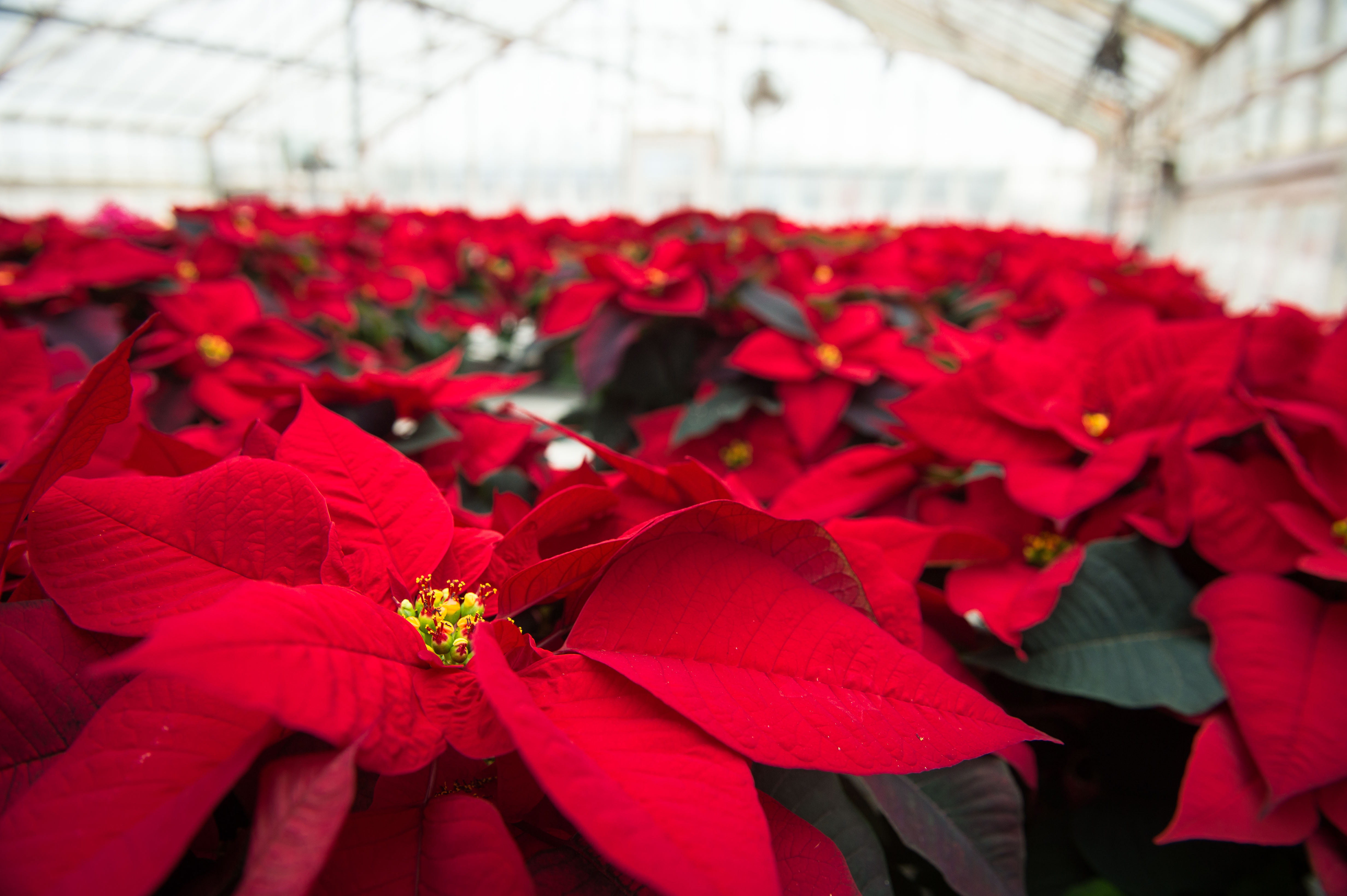 UConn Collections: Poinsettias