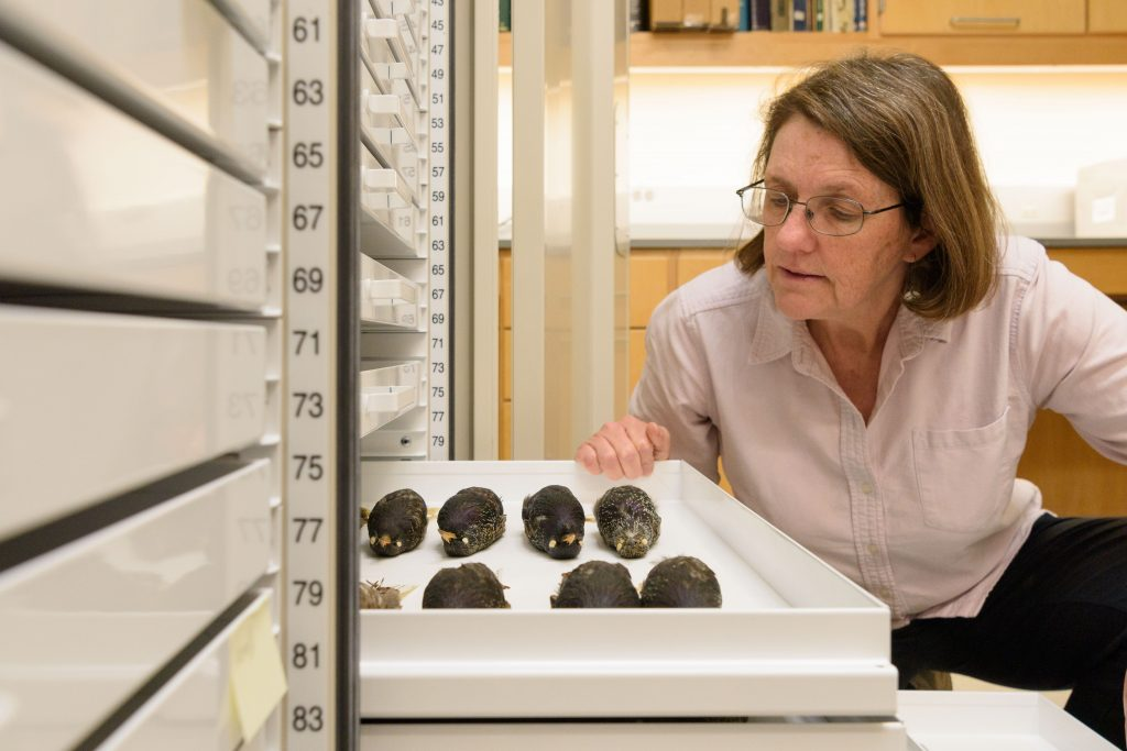 Margaret Rubega, associate professor of ecology and evolutionary biology, looks at starling bird skins at the Biodiversity Research Collections. (Peter Morenus/UConn Photo)