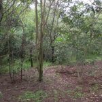 A five-year-old restoration planting of a riparian area with native tree species in an ecotonal (transitional) region between the Atlantic Forest and Cerrado domains in northern São Paulo State, Brazil. (Robin Chazdon/UConn Photo)