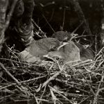 California Scrub-Jay nestlings on their nest in Berkeley, California, May 20, 1921. (With the Permission of the Museum of Vertebrate Zoology, University of California, Berkeley)