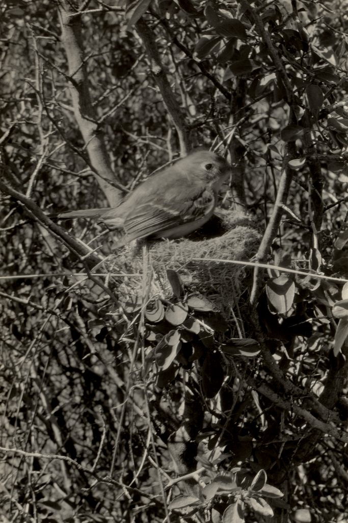 A Dusky Flycatcher tends its nest near Battle Creek, Tehama County, California, on June 17, 1925. (With the Permission of the Museum of Vertebrate Zoology, University of California, Berkeley)