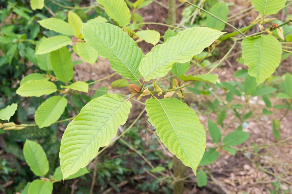 Mitragyna speciosa korth (kratom). (Getty Images)