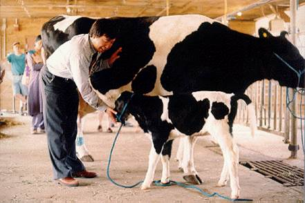 Professor Xiangzhong (Jerry) Yang, with the first cloned calf in North America, Amy, and her donor, Aspen, at UConn's Kellogg Dairy Center in 1999. (File photo by Xiuchun (Cindy) Tian via Wikipedia)