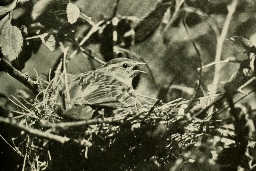 A Chipping Sparrow pants to cope with high temperatures on her nest in Yosemite, circa 1922. (From The Birds of California, Allan Brooks et al., 1923, via Wikimedia Commons)
