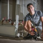 8 p.m. Working with a rooster at UConn's Poultry Barn.