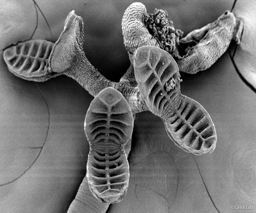 Tallying Tapeworms: New Book Details Species, Hosts - UConn