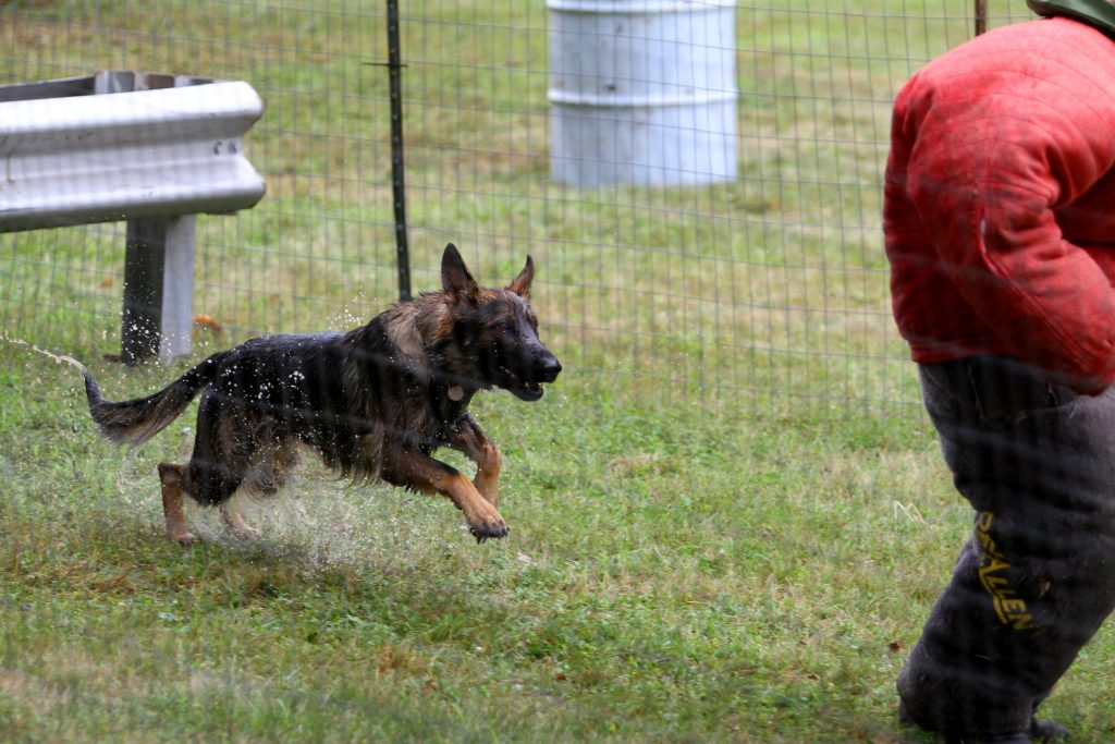 Officer Michael Rhodes works with Harper during aggression training. (Photo supplied by UConn K-9 Unit)