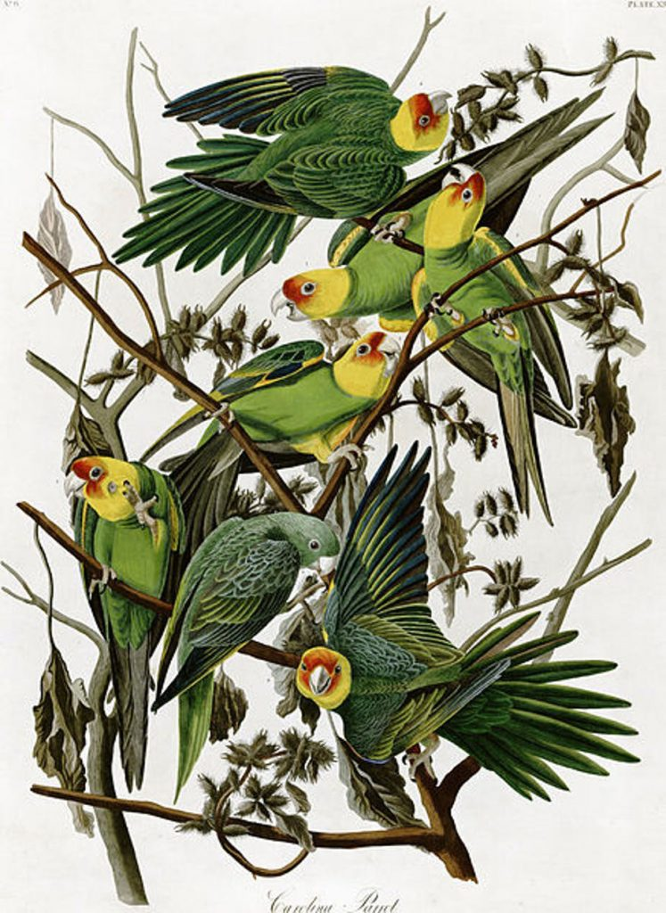 John James Audubon's 'Carolina Parakeets.' (Wikimedia Commons)