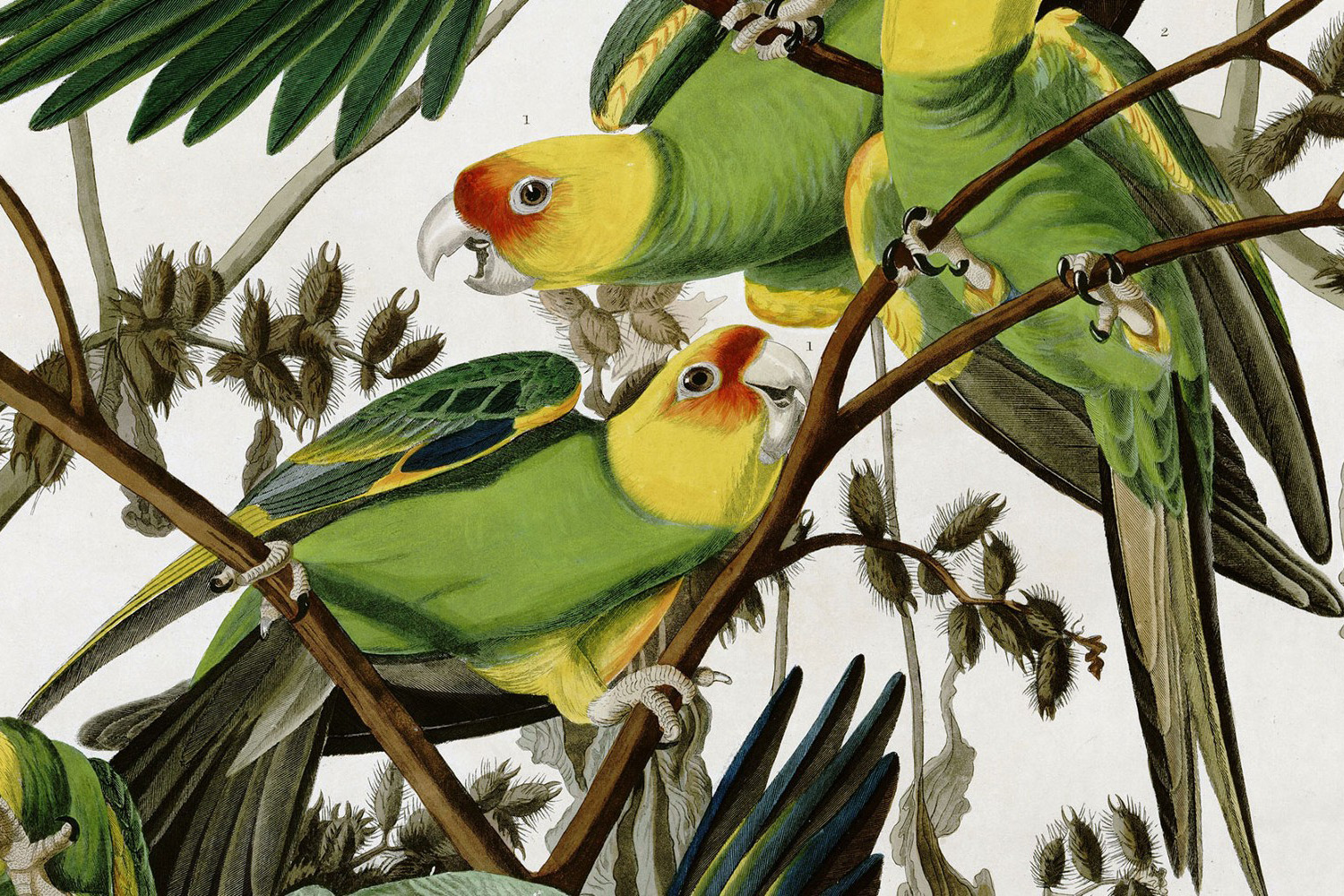 The last recorded Carolina parakeet (Conuropsis carolinensis) died nearly 100 years ago. (Wikimedia Commons)