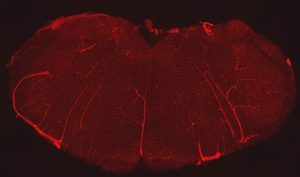 The extensive network of blood vessels in the brainstem. Endothelial cells, indicated in red , line all blood vessels and show just how vascular the brainstem truly is. (Photo provided by the Mulkey Lab/UConn Photo)