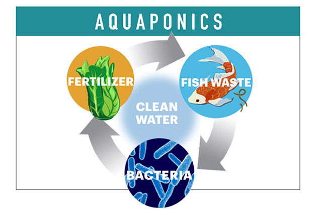 An aquaponics system enables farmers to grow more in less space, using the closed loop and symbioses between plants, animals, and bacteria. (John Bailey/UConn Illustration)