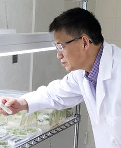 Yi Li inspects his CRISPR-altered plants in his lab. (Xiaojing Wang, CC BY-SA)