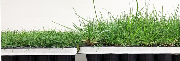 The shorter lawn grass on the left (perennial ryegrass) needs to be mowed less frequently than its conventional counterpart, shown on the right. The shorter grass was produced using a traditional plant breeding technique. Yi Li is currently using the CRISPR technique to create grasses of other species that require less maintenance. (Yi Li, CC BY-SA)