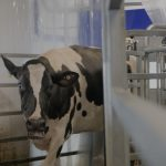 The University of Connecticut became one of the first universities in the United States to adopt robotic milking technology that allows the cows to choose when to be milked and collects research data at the same time. (Elizabeth Caron/UConn Video)
