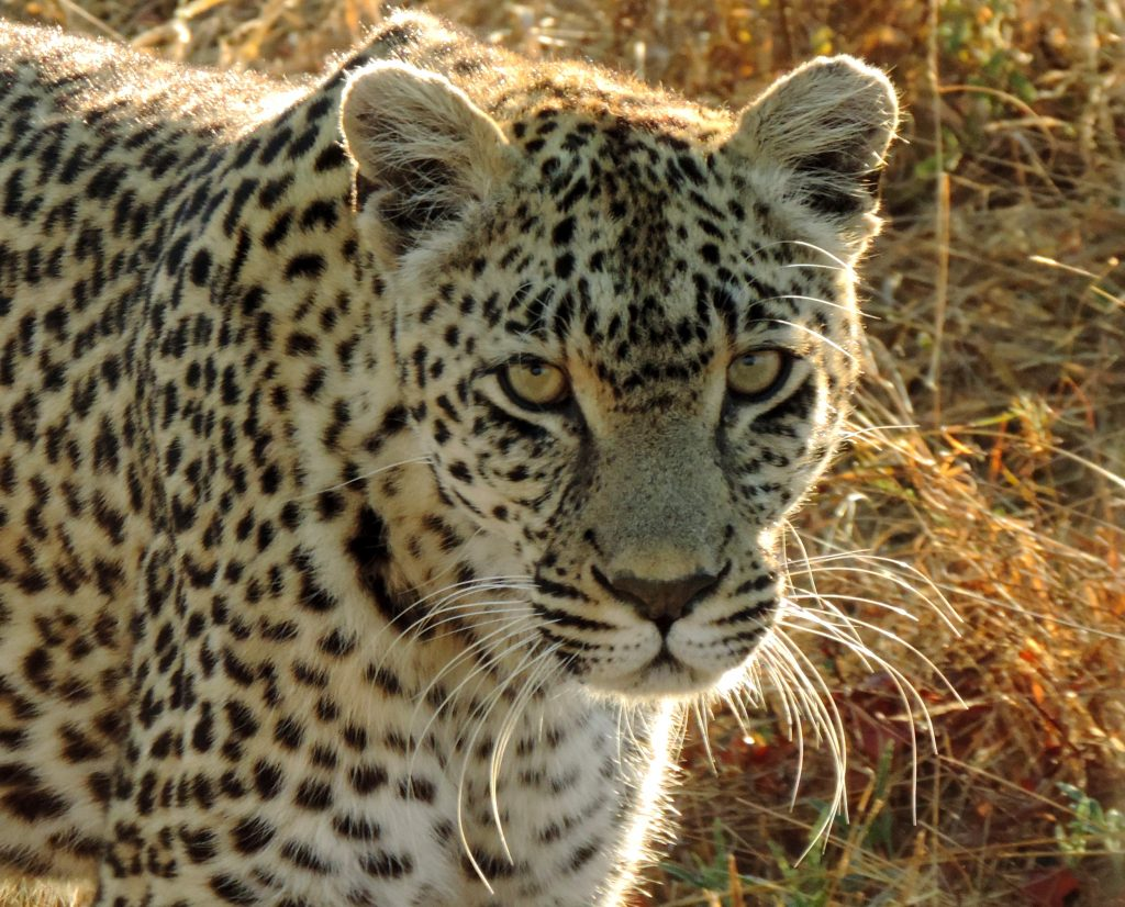 Photo of leopard in South Africa.