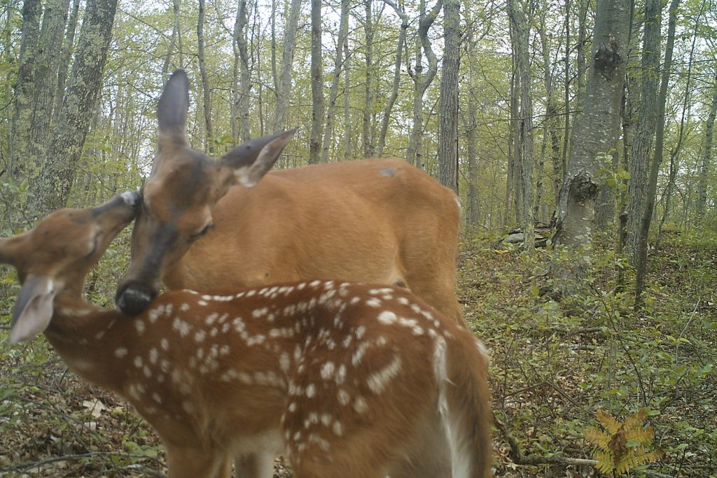 A female deer and her fawn are captured on camera by UConn researchers, part of a project to gather abundance data on the state's deer population. (Jennifer Kilburn/UConn Photo)