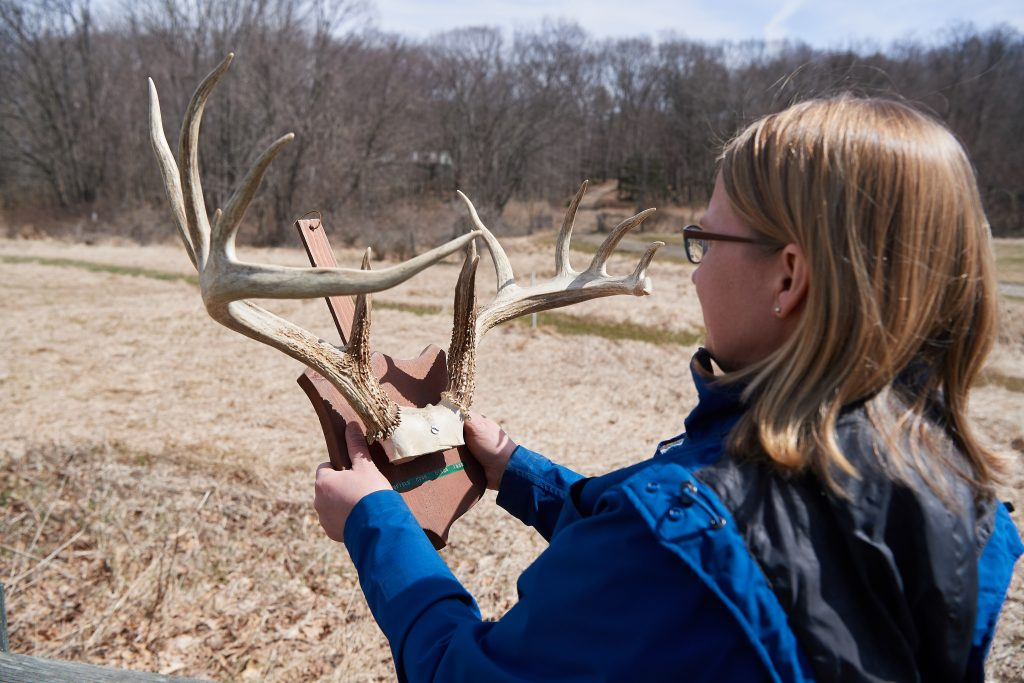 Researcher Tracy Rittenhouse holds a set of deer antlers from around 1940, a specimen from UConn's Biodiversity Research Collections. She says when deer densities are low, food is plentiful and then males grow large antlers. Since deer densities were low in the early 1940s, these antlers are very large compared to what is typically seen in Connecticut now. (Peter Morenus/UConn Photo)