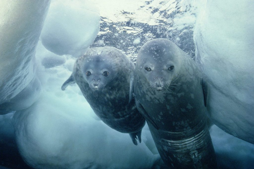 Weddell seals diving under the ice. (changehali via Wikimedia Commons)