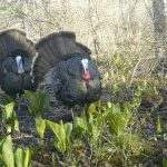 Wild turkeys are captured on camera by UConn researchers, part of a project to gather abundance data on the state's animal populations. (Jennifer Kilburn/UConn Photo)