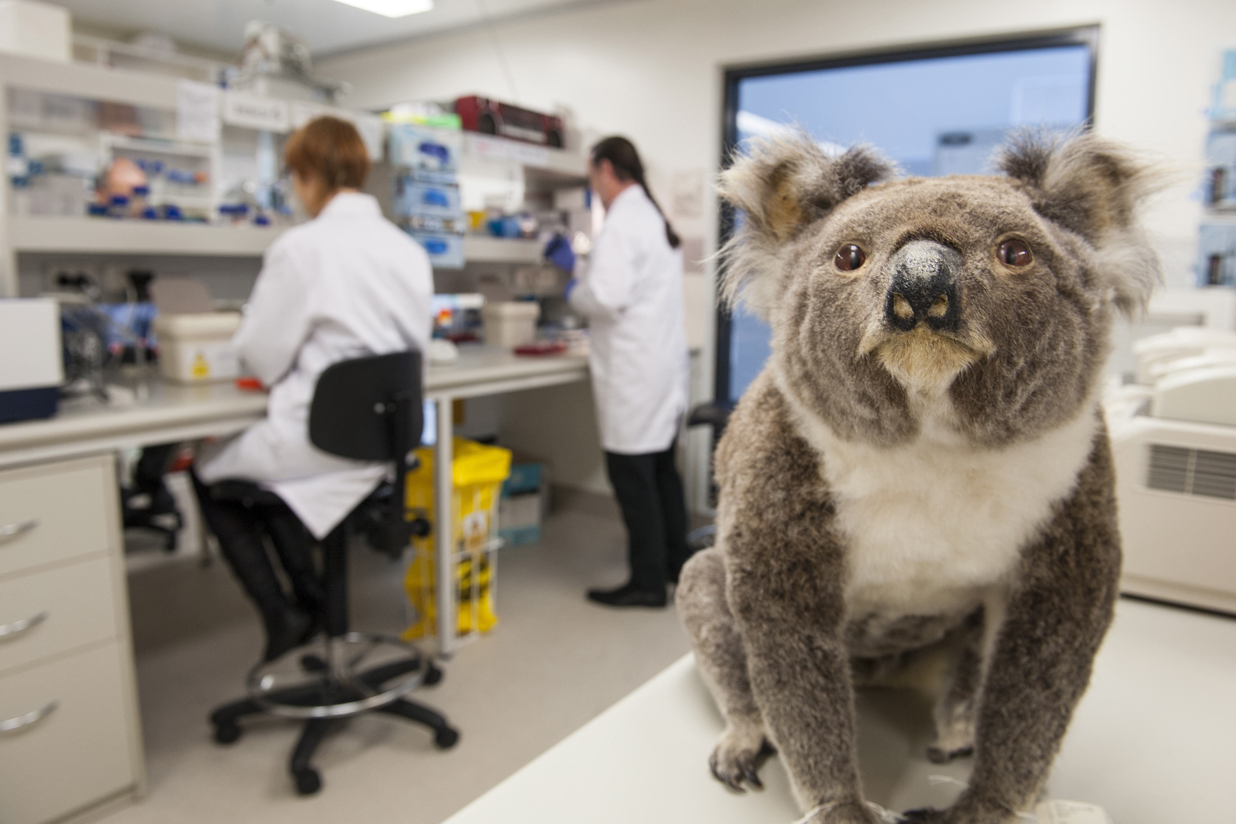 A koala in the DNA lab at the Australian Museum Research Institute. (Stuart Humphreys/Australian Museum Photo)