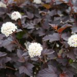 Ninebark (Physocarpus opulifolius diabolo) with white flowers, a native species. (Getty Images)