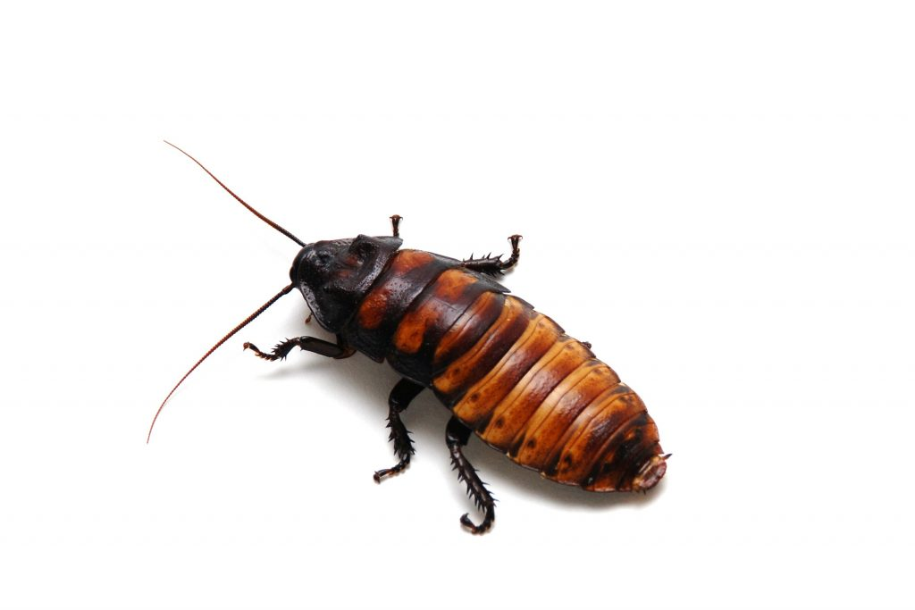 A Madagascar hissing cockroach. (Getty Images)
