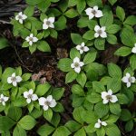 Dwarf dogwood (Cornus canadensis) in bloom, a native species. (Getty Images)