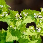 Garlic Mustard (Alliaria petiolata) with white flowers, an invasive species. (Getty Images)