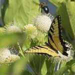 Buttonbush flowers visited by a Tiger Swallowtail butterfly. Buttonbush (Cephalanthus occidentalis) is a native species. (Getty Images)