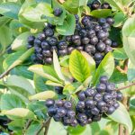 Black chokeberry (Aronia melanocarpa) with ripe berries, a native species. (Getty Images)